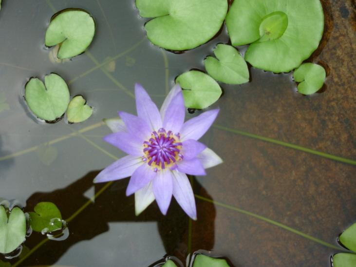 P1000032Wasserblume lila klein
